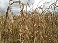 Dry maize for harvesting-Tanzania.jpg