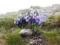Dzwonek alpejski (Campanula alpina Jacq.).jpg