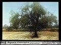 ETH-BIB-Argania Sideroxylon, westlich Taroudant-Dia 247-09149.tif