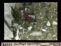 ETH-BIB-Saxifraga oppositifolia (?) Chandolin-Dia 247-13277.tif