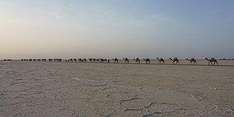 Salt road - A camel train for salt transportation in Afar Region of Ethiopia