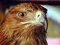 Eagle عقاب 23.jpg
