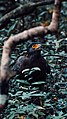 Eagle - Wilpattu National Park.jpg