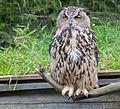 Eagle owl (15098435295).jpg