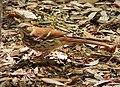 Eastern Brown Thrasher. Toxosoma rufum (24185168688).jpg