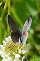 Eastern Tailed Blue (Cupido comyntas) (35575584276).jpg