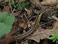 Eastern ribbon snake (upper body).jpg