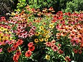 Echinacea (28193196643).jpg