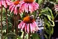 Echinacea Summer Sky 0zz.jpg