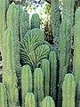 Echinopsis pachanoi (7996941451).jpg