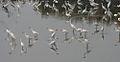 Egrets in AP W IMG 4221.jpg