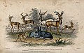 Eight different antelopes shown on a grassy plain. Coloured Wellcome V0021266.jpg
