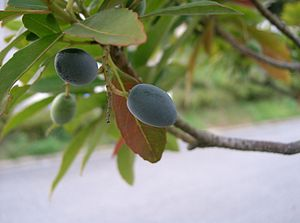 Elaeocarpus sylvestris - Elaeocarpus sylvestris, branch with fruits