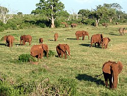Elephants. Tsavo East National Park - panoramio.jpg