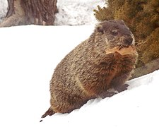 Emerged from hibernation in February, groundhog takes leaves to line the burrow nest or toilet chamber DSCN0900.jpg