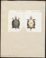 Emys picta - 1700-1880 - Print - Iconographia Zoologica - Special Collections University of Amsterdam - UBA01 IZ11600109.tif