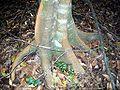 Endiandra muelleri bracteata base.jpg