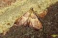 Endotricha flammealis 1 (FG) (36571559873).jpg