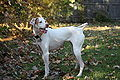 English Pointer 001.jpg