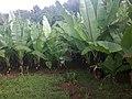 Enset farm in an average zada compund.jpg