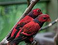 Eos squamata -Kuala Lumpur Bird Park, Malaysia-8a-3c.jpg