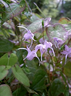 Epimedium grandiflorum var. thunbergianum