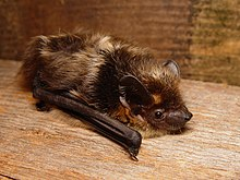 The image depicts a northern bat, crawling on a wooden surface