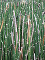 Equisetum hyemale 03 by Line1.JPG