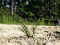 Eragrostis albensis sl27.jpg