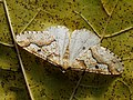Erannis defoliaria ♂ - Mottled umber (male) - Пяденица-обдирало (самец) (46530920972).jpg