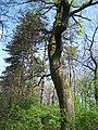 Erdő ( öreg fa ) - panoramio.jpg