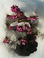 Erica darleyensis en hiver (5).JPG