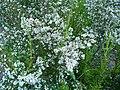 Erica leucantha plant.JPG