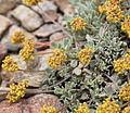 Eriogonum umbellatum sulfur flower.jpg