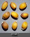 Erucastrum nasturtiifolium sl17.jpg