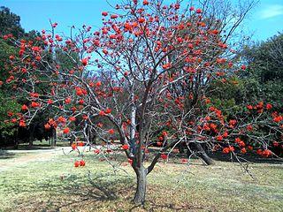 <i>Erythrina lysistemon</i> species of plant