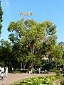 Eucaliptus - arbre d'interès local - parc de Vil·la Amèlia P1280087.jpg