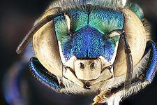 Euglossa dilemma, male, face 2012-06-27-17.20.45 ZS PMax (7847237536).jpg