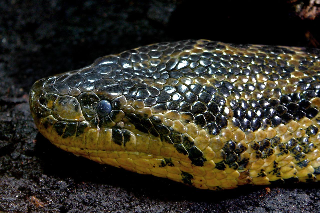 gul anakonda