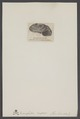 Euomphalus - Print - Iconographia Zoologica - Special Collections University of Amsterdam - UBAINV0274 005 08 0049.tif