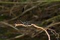 Euphaea fraseri-Kadavoor-2016-06-25-001.jpg