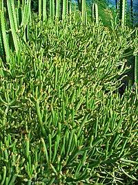 Euphorbia aphylla 01