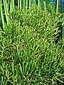 Euphorbia aphylla 01.JPG