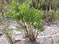 Euphorbia esula (4031384669).jpg