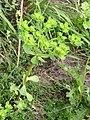 Euphorbia helioscopia habitus 1 AB.jpg