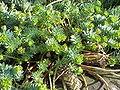 Euphorbia myrsinites6.jpg