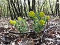 Euphorbia polychroma sl38.jpg