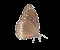 Euploea core.png