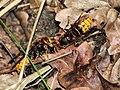 Europäische Hornissen vespa crabro (28662285333).jpg