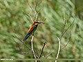 European Bee-eater (Merops apiaster) (29748985528).jpg